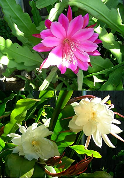 Amazon 2 cuttings orchid cactus epiphyllum oxypetalum one 2 cuttings orchid cactus epiphyllum oxypetalum one pink and one white mightylinksfo