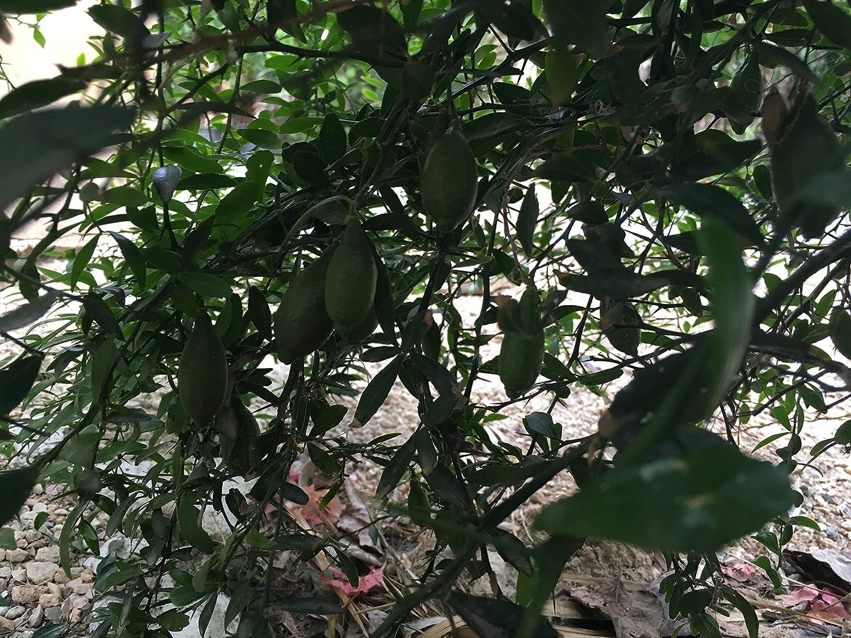 Caviar Cítrico - Maceta de 25cm - Altura arpox. 80cm - Planta viva - (Envíos sólo Península): Amazon.es: Jardín