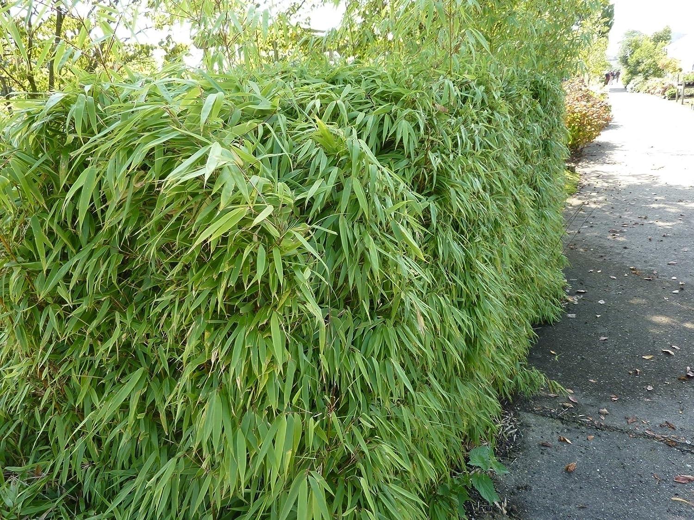 Horstbildender Bambus Pingwu Fargesia Robusta Winterharte