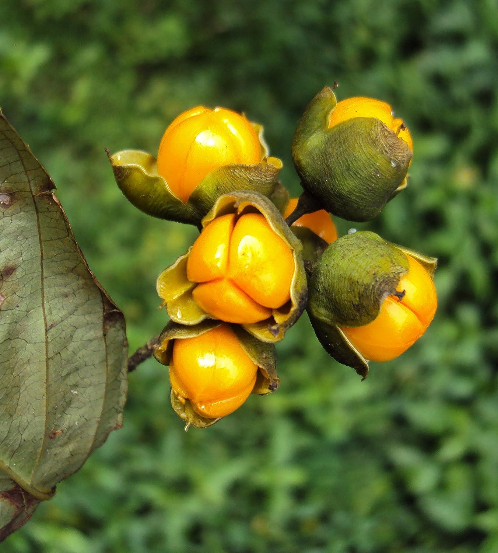 Jyotishmati 350 Celastrus paniculatus seeds Intellect Tree Malkangani Asklepios-seeds/®