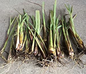 5 Fresh Lemongrass Cutting, Cymbopogon, mosquito Repellent live Organic plant