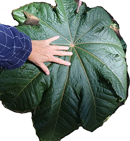 Amazon Com Castor Bean Mole Bean Giant Green Leaves Huge Seeds Tropical Look Fast Growing Ricinus Communis 8 Seeds From Usa Garden Outdoor