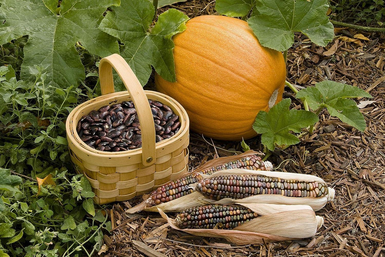 Amazon.com : Native American Three Sisters Garden : Pumpkin Plants ...