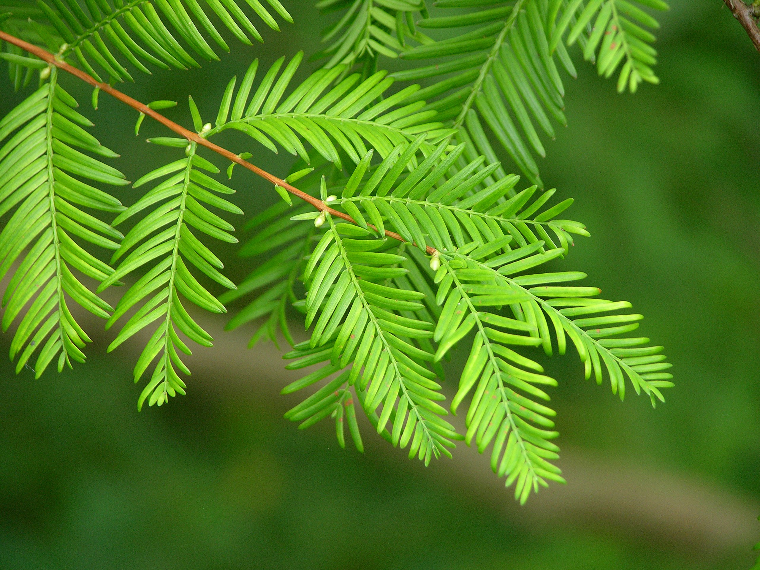 Redwoods of The World | Collection of 5 Live Tree Seedlings | The Jonsteen Company by The Jonsteen Company (Image #5)
