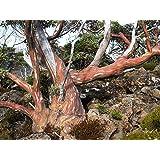 Tasmanischer Schneeeukalyptus Eucalyptus coccifera 10 Samen -Winterhart