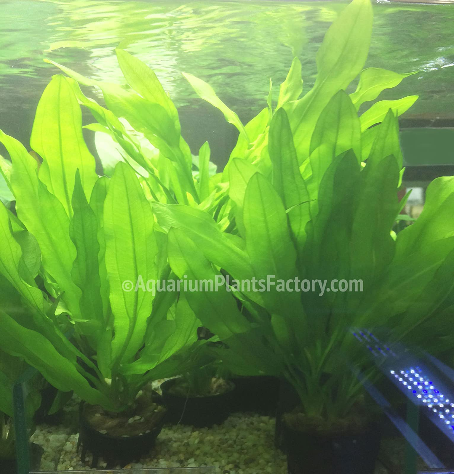 AquariumPlantsFactory - Ruffled Amazon Sword Potted (Echinodorus Martii - 1
