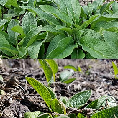Bocking 14 Russian Comfrey - 12 Live Root Cuttings | by Marsh Creek Farmstead : Garden & Outdoor