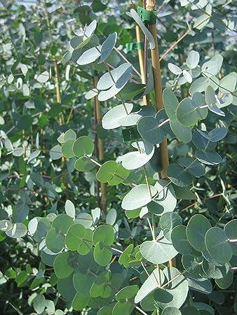 10 EUCALYPTUS GUNNI MINI PLUG PLANTS