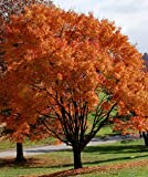 Acer rubrum October Glory / Canadian Red Maple, autumn colour tree, pot grown peat free, 4ft, with free mycorrhizal fungi