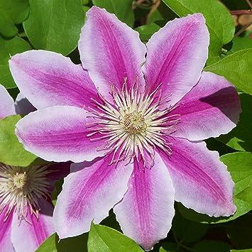 Dominik Blumen Und Pflanzen, Balkon Clematis ´Piilu´, 2 L Container