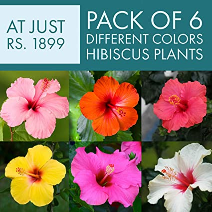 Buy Poudhav Hibiscus Outdoor Multicolor Plant Pack Of 6 Online At