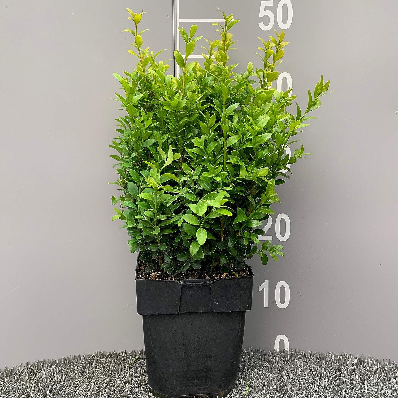 BUXUS SEMPERVIRENS │ Bosso │ 6 Piante sempreverdi in vaso /Ø 17 cm