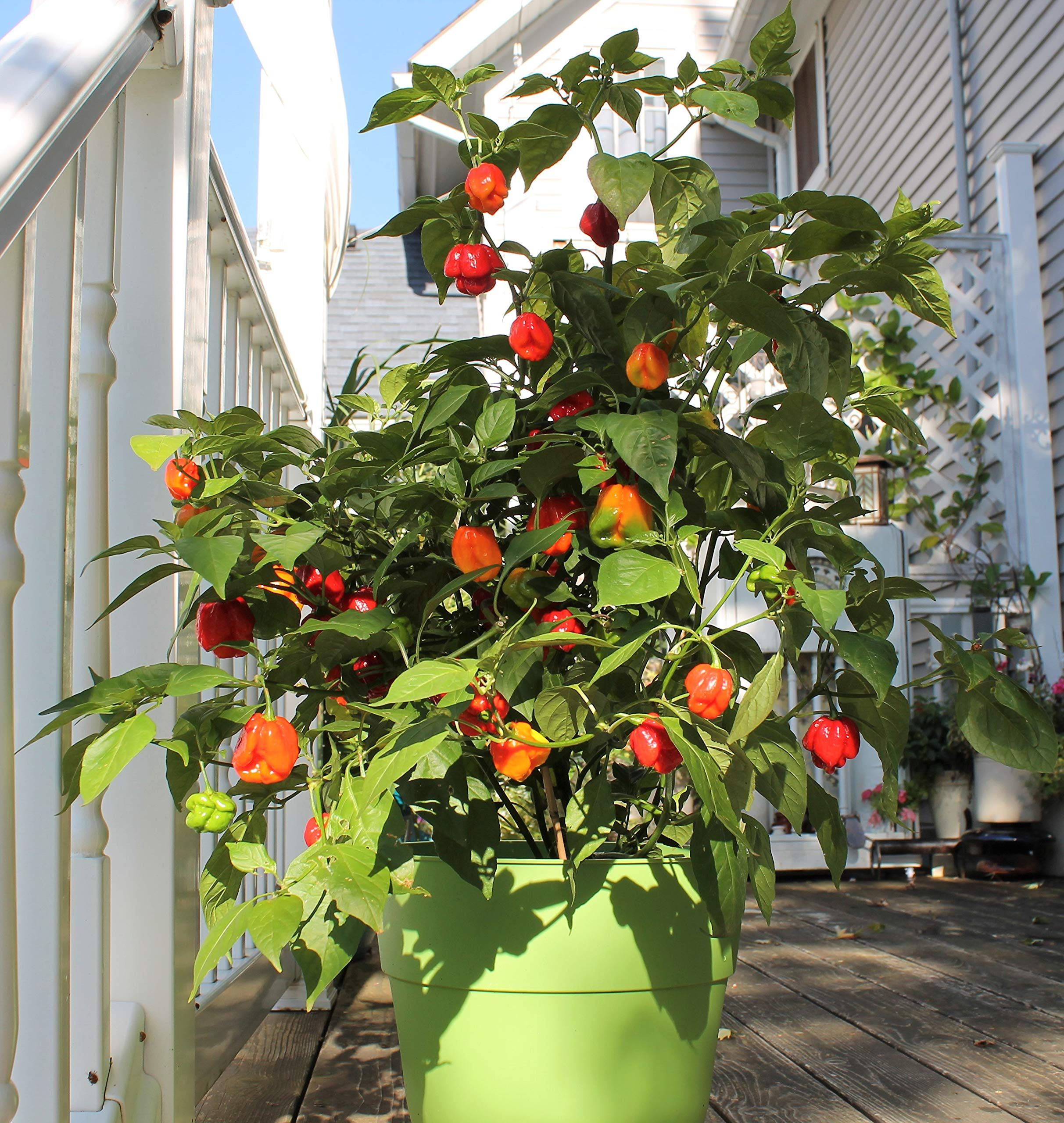 Carolina Reaper Pepper Plant - Non-GMO, Two (2) Live Plants - Not Seeds - Each 4''-7'' Tall- in 4'' Pots - World's Hottest Pepper - 2.2 Million Scoville Units