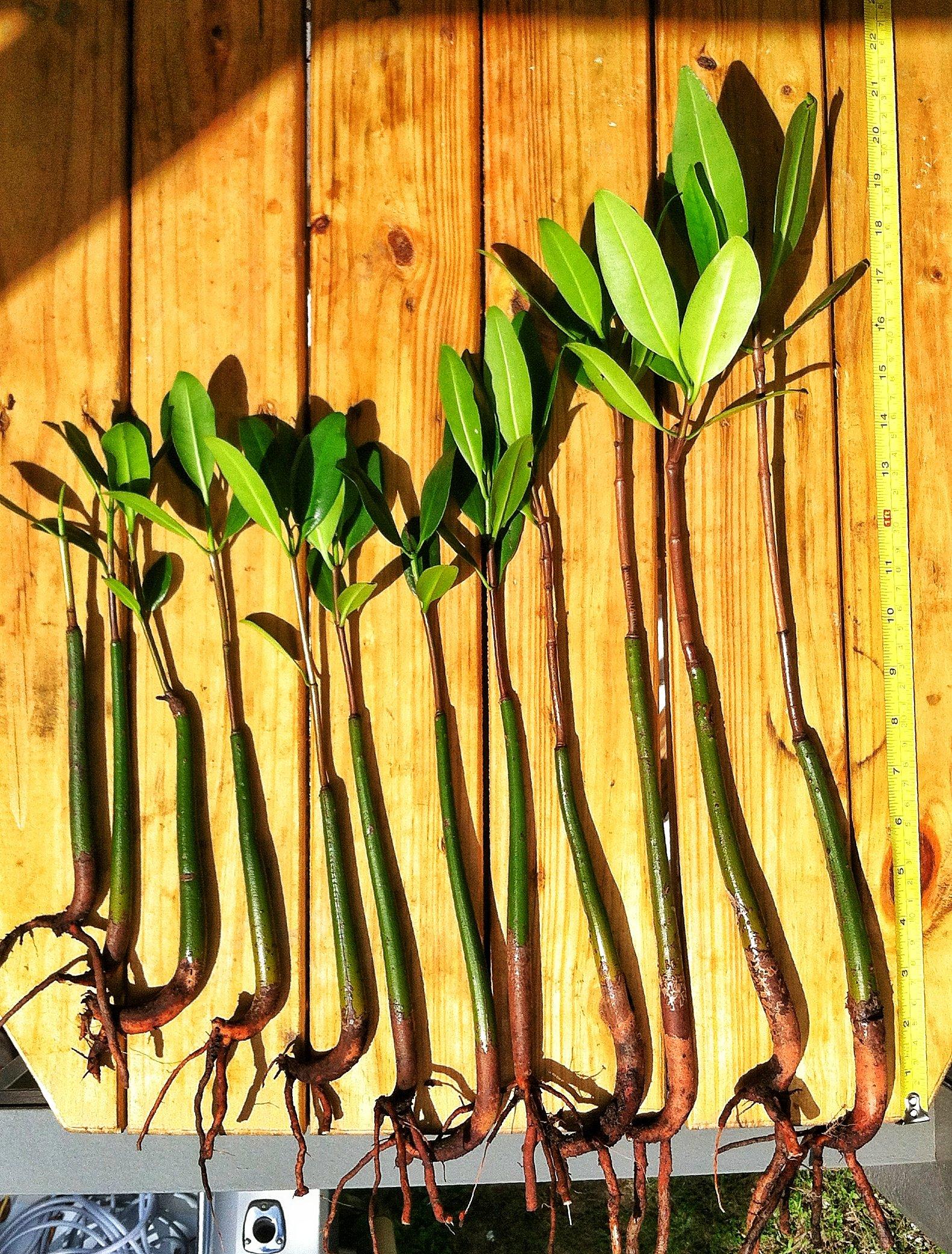 8 Healthy Strong Red Mangrove Seedlings