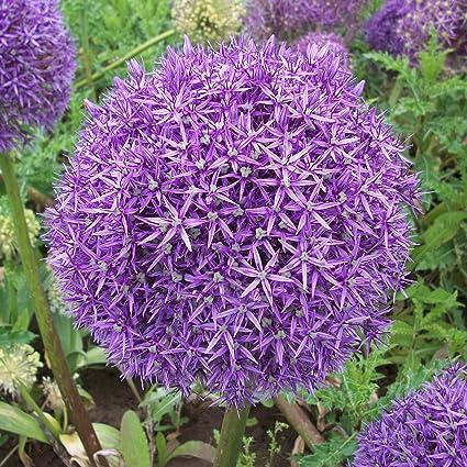 200 Samen BIO Allium cepa L. Seedeo® Zwiebel Rote Laaer
