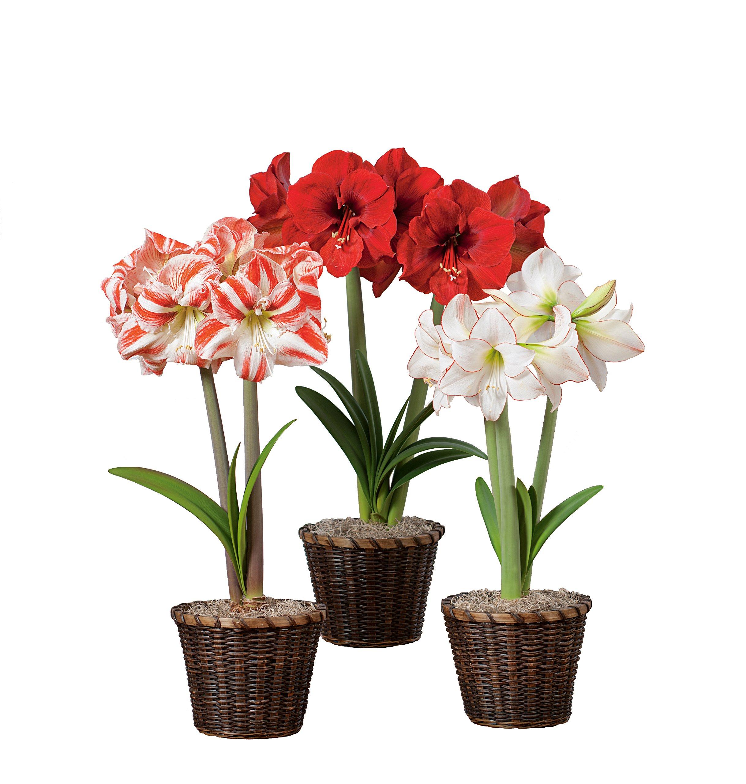 Hallmark Flowers Amaryllis Bulbs Trio In Brown Woven Baskets (Pack of 3)
