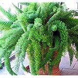 Natures Buggy Asparagus Meyeri - Foxtail Fern Live Plant \ Foxtail Fern Live Plant