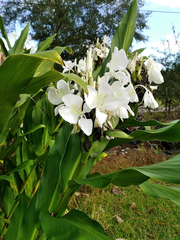 Amazon white ginger seeds flowering plants garden outdoor izmirmasajfo