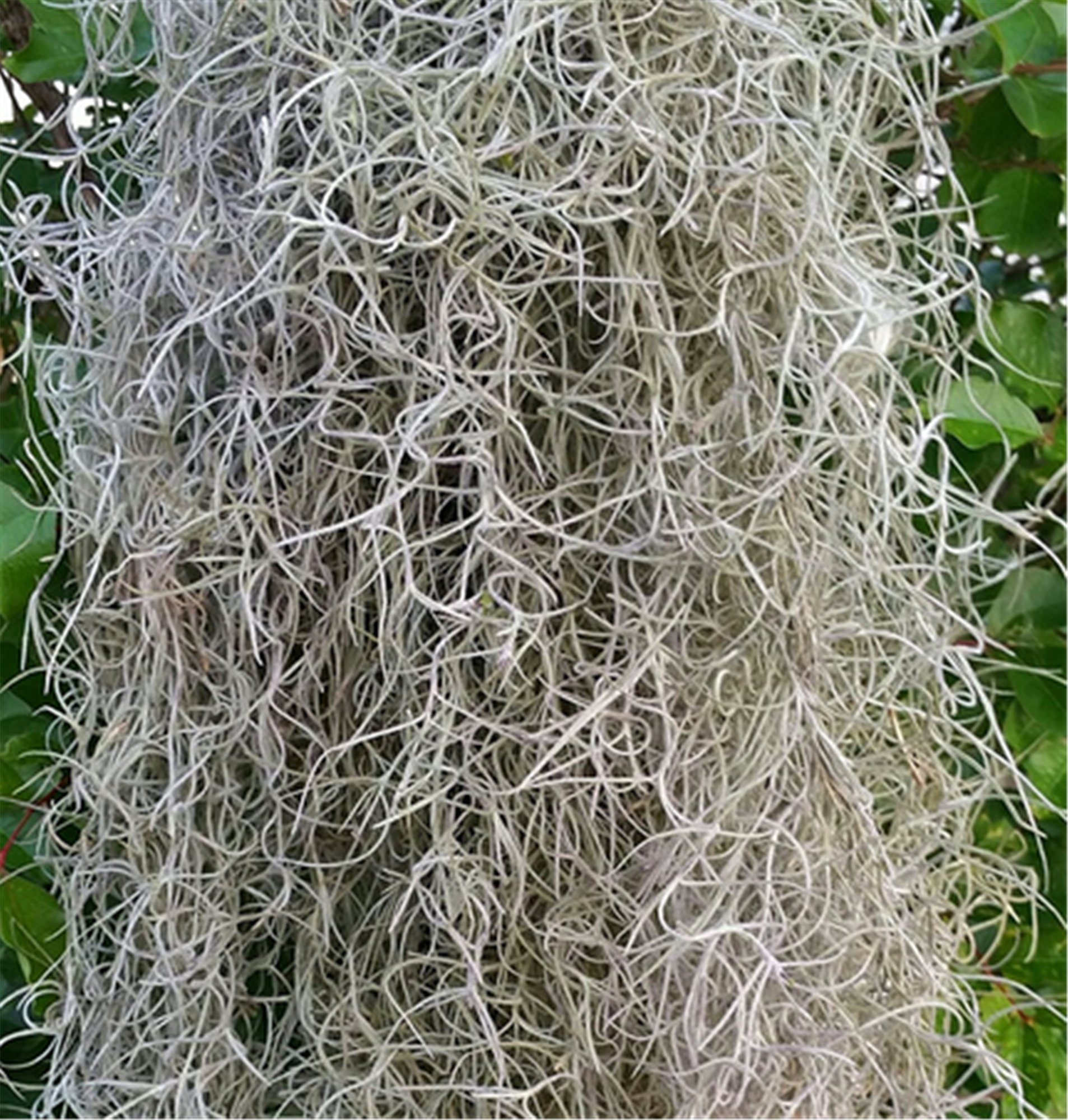 Real Spanish Moss approx 5 lbs boxed, cleaned
