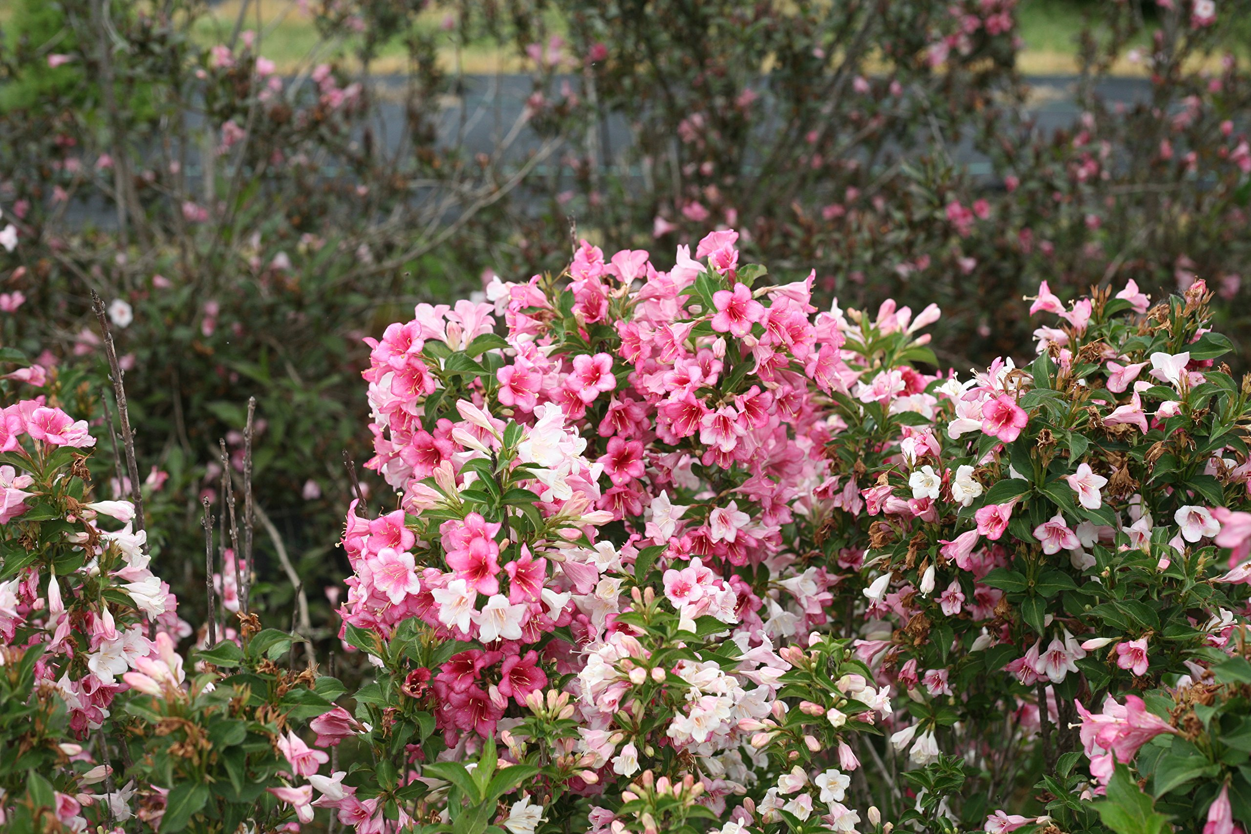 Czechmark Trilogy (Weigela) Live Shrub, White, Pink, and Red Flowers, 1 Gallon by Proven Winners (Image #6)