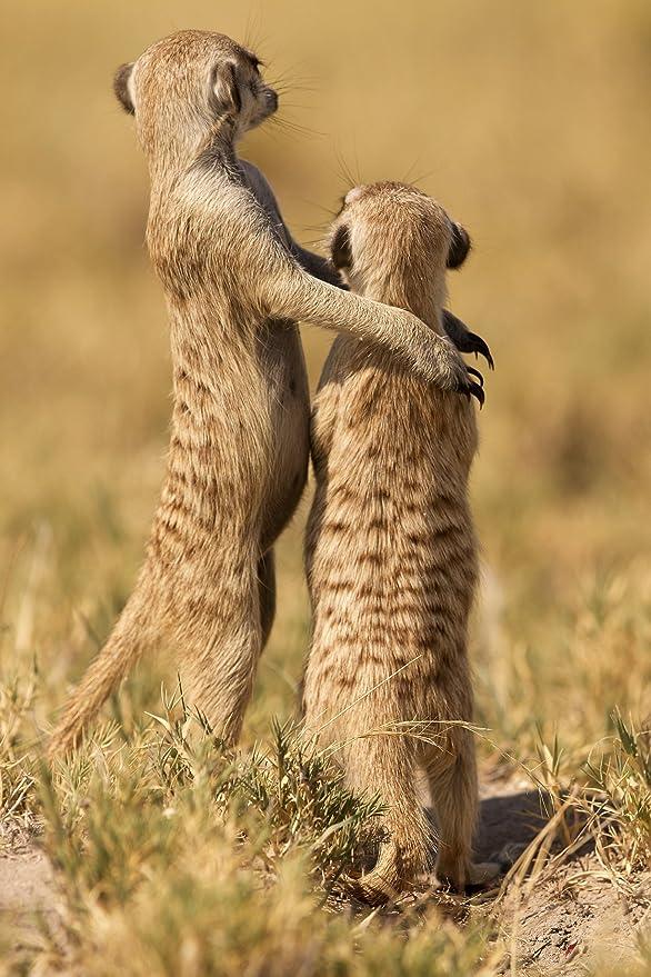 3d de postal con motivo de Pareja de suricato: Amazon.es: Oficina ...