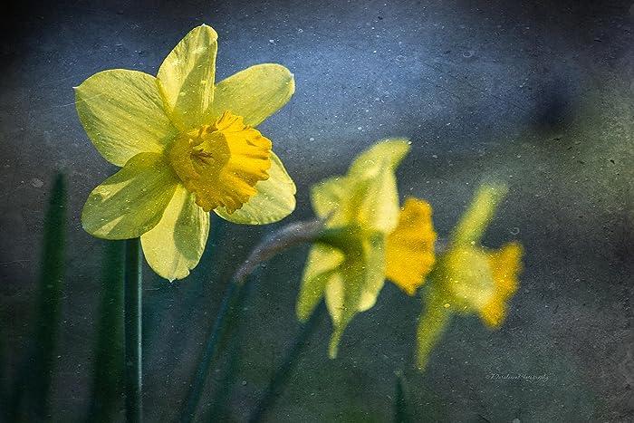 Amazon.com: Daffodil Print | Daffodil | Daffodil Fine Art Print ...