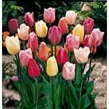 Mixed Triumph Tulips (25 Bulbs) - Assorted Colors of Tulip Bulbs by Willard & May