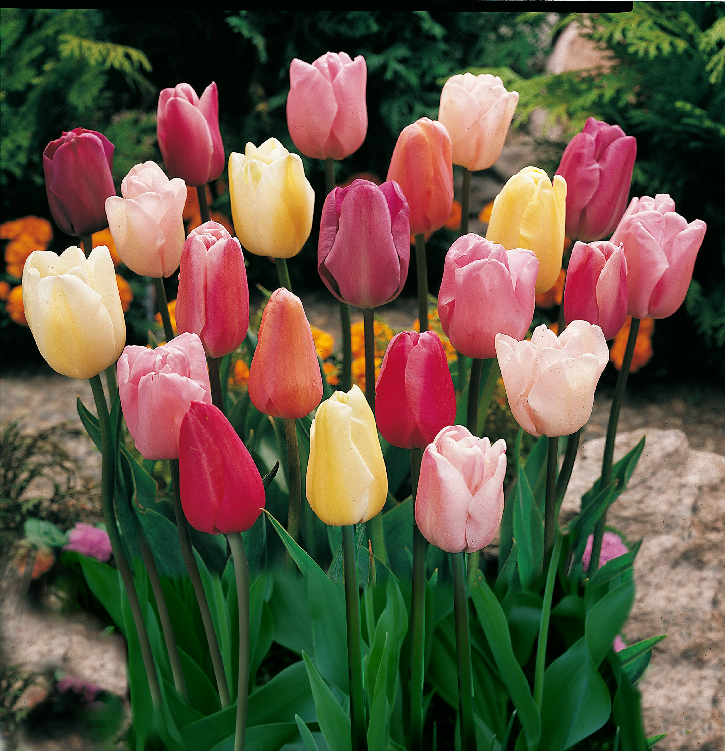 Mixed Triumph Tulips (25 Bulbs) - Assorted Colors of Tulip Bulbs