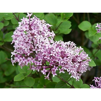 "1 Dwarf Korean Lilac - 4"" Pot - Syringa meyeri - Palibin Live Plant : Garden & Outdoor"