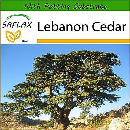 15 CEDAR OF LEBANON SEEDS Cedrus libani