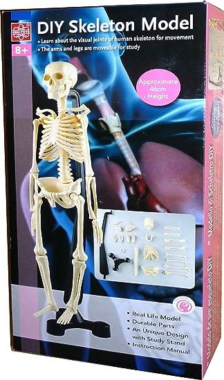 Menschliches Skelett 46cm Anatomie Modell: Amazon.de: Drogerie ...