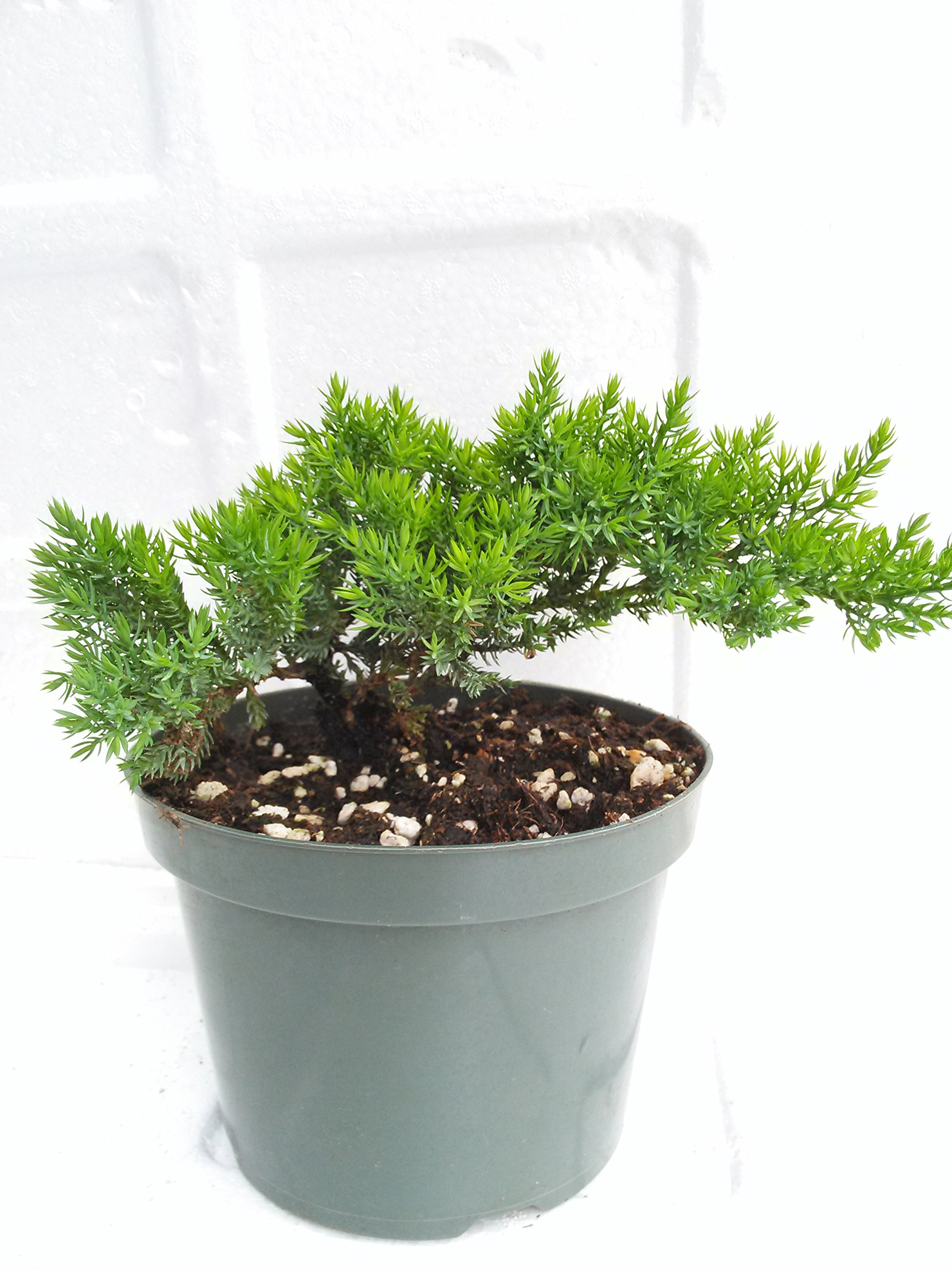 Tree Bonsai Juniper Garden 6'' Pot with Bonsai Fertilizer Slow Release unique from Jmbamboo by JM BAMBOO