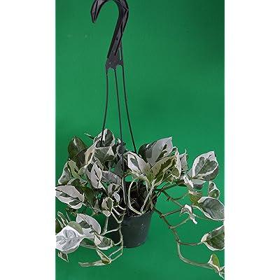 "Double Dip Devil's Ivy - Epipremnum Aureum - 4"" Hanging Basket - New/easy: Garden & Outdoor"