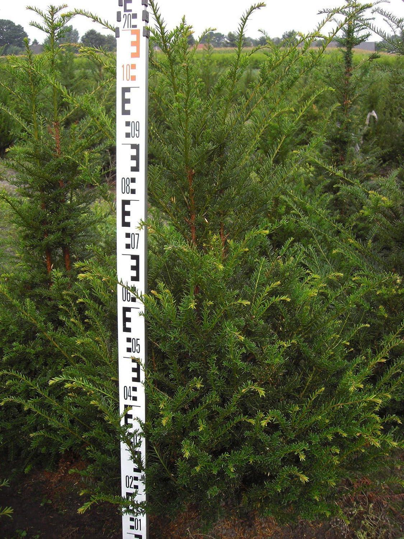 20 Stück Heckenpflanze Taxus baccata Eibe 120cm Amazon Garten