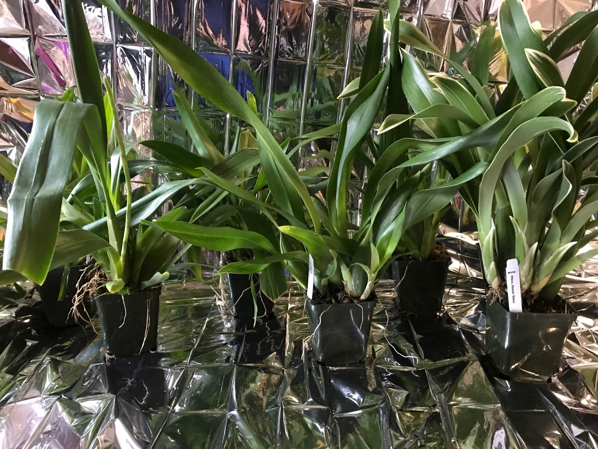 3 Large Diffferent Oncidiums Live Orchids Plants ... by Angels Orchids (Image #4)