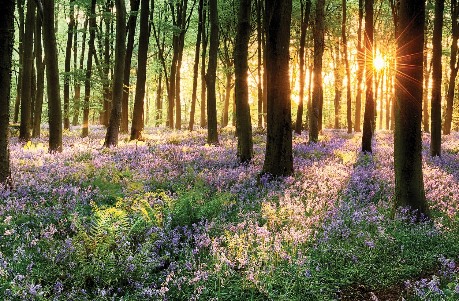 JP London SPMURLT2536 Prepasted Removable Wall Mural Bluebell Forest at dawn Sun Ray Light at 24 High x 36 Wide