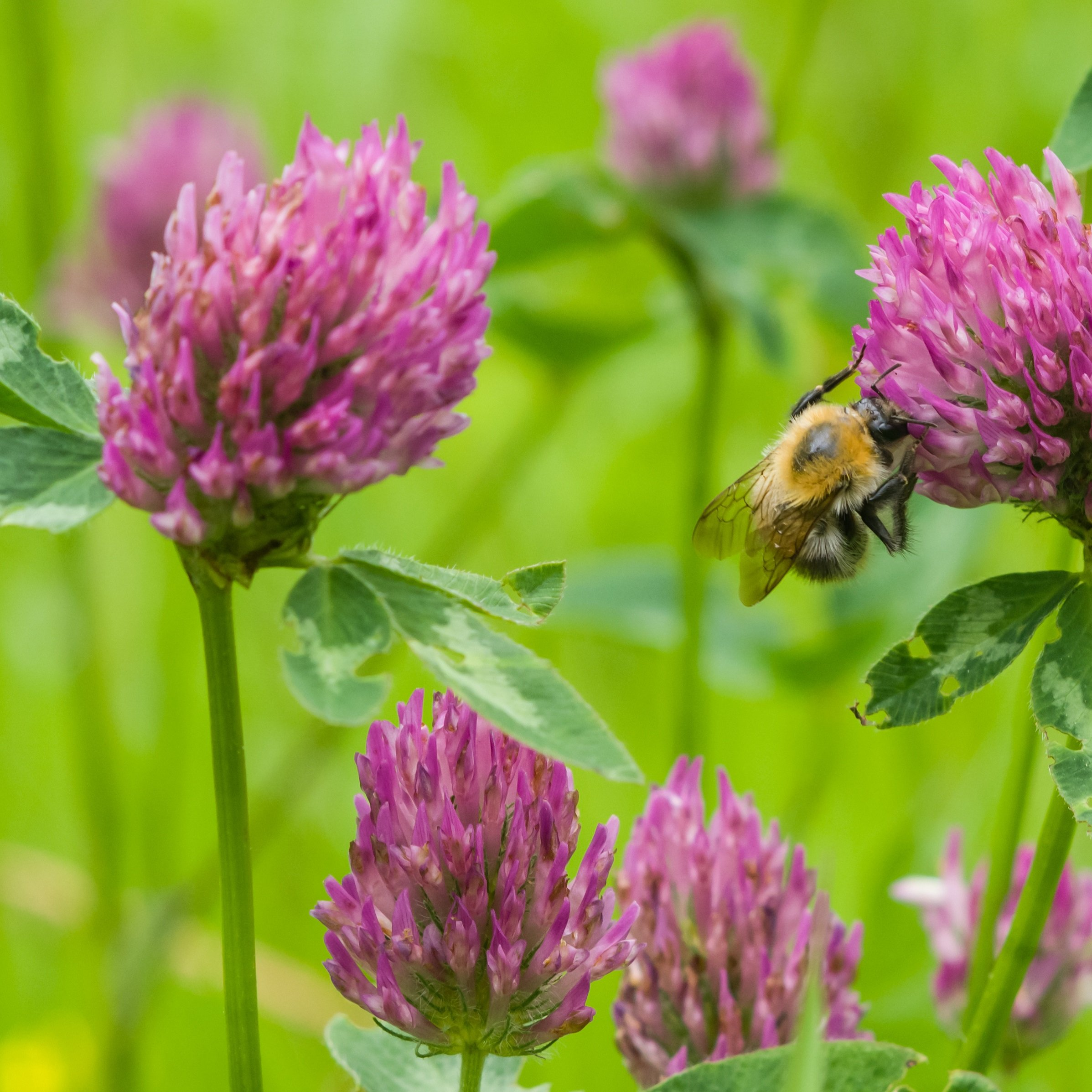 Outsidepride Red Clover Seed: Nitro-Coated, Inoculated - 5 LBS by Outsidepride (Image #2)