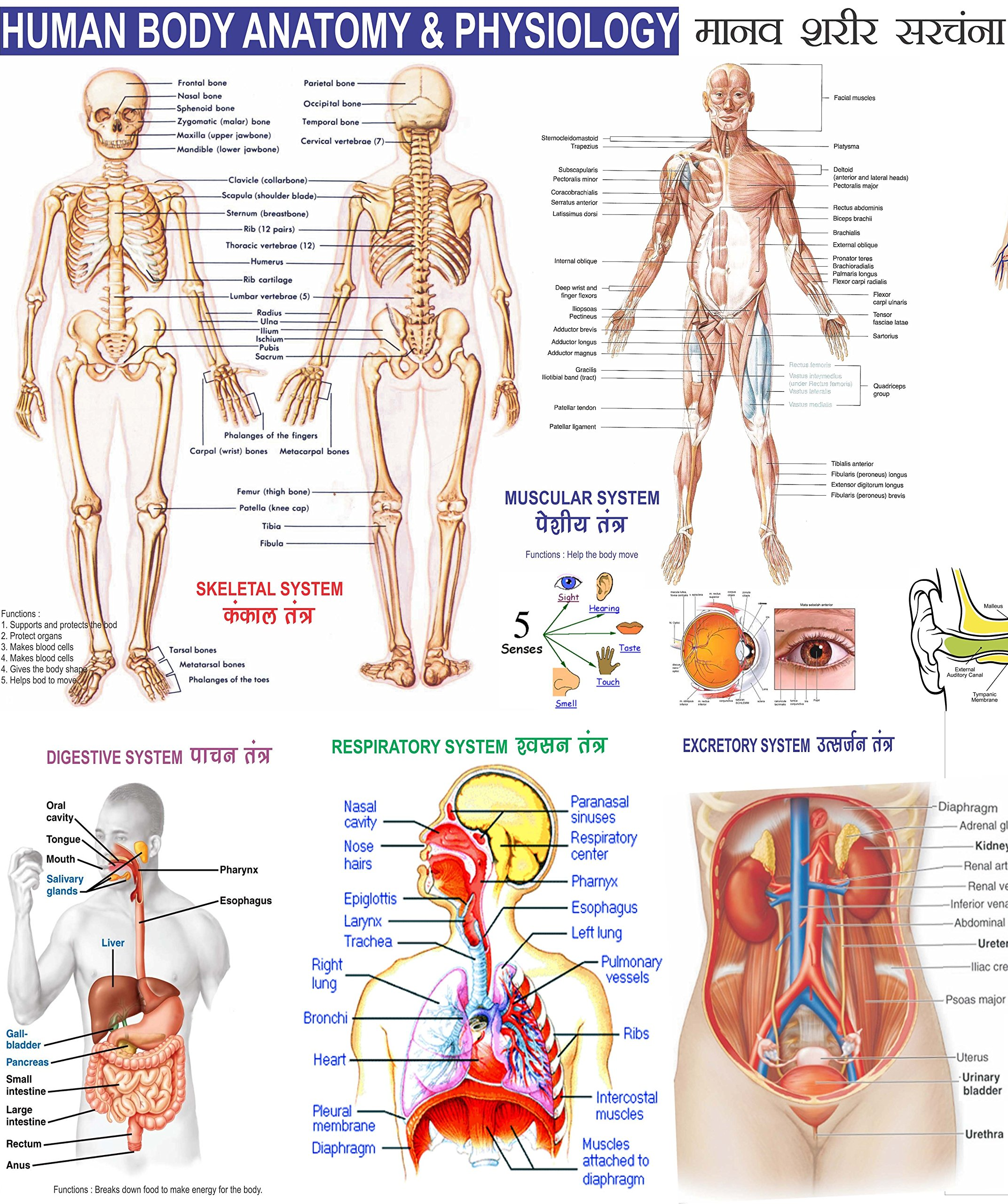 Buy Human Body Chart 23x36 Quantity 2 Book Online At Low Prices