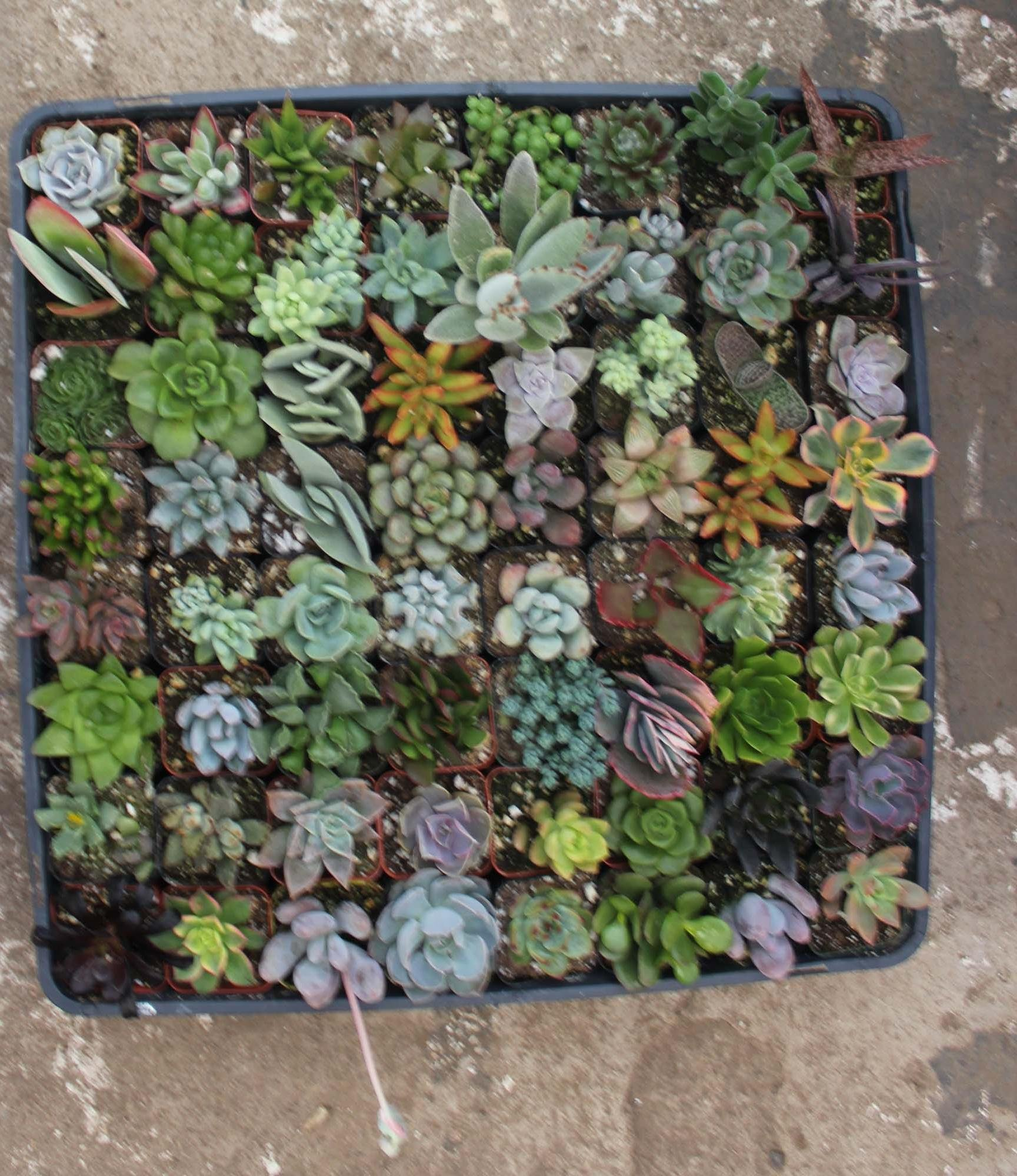 Jiimz 50 Mixed Succulent Plants Great for Weddings, Center Pieces, Baby Showers, Party Favors