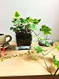 Easy Plants English Ivy Hedera in Square Glass Vase Cube