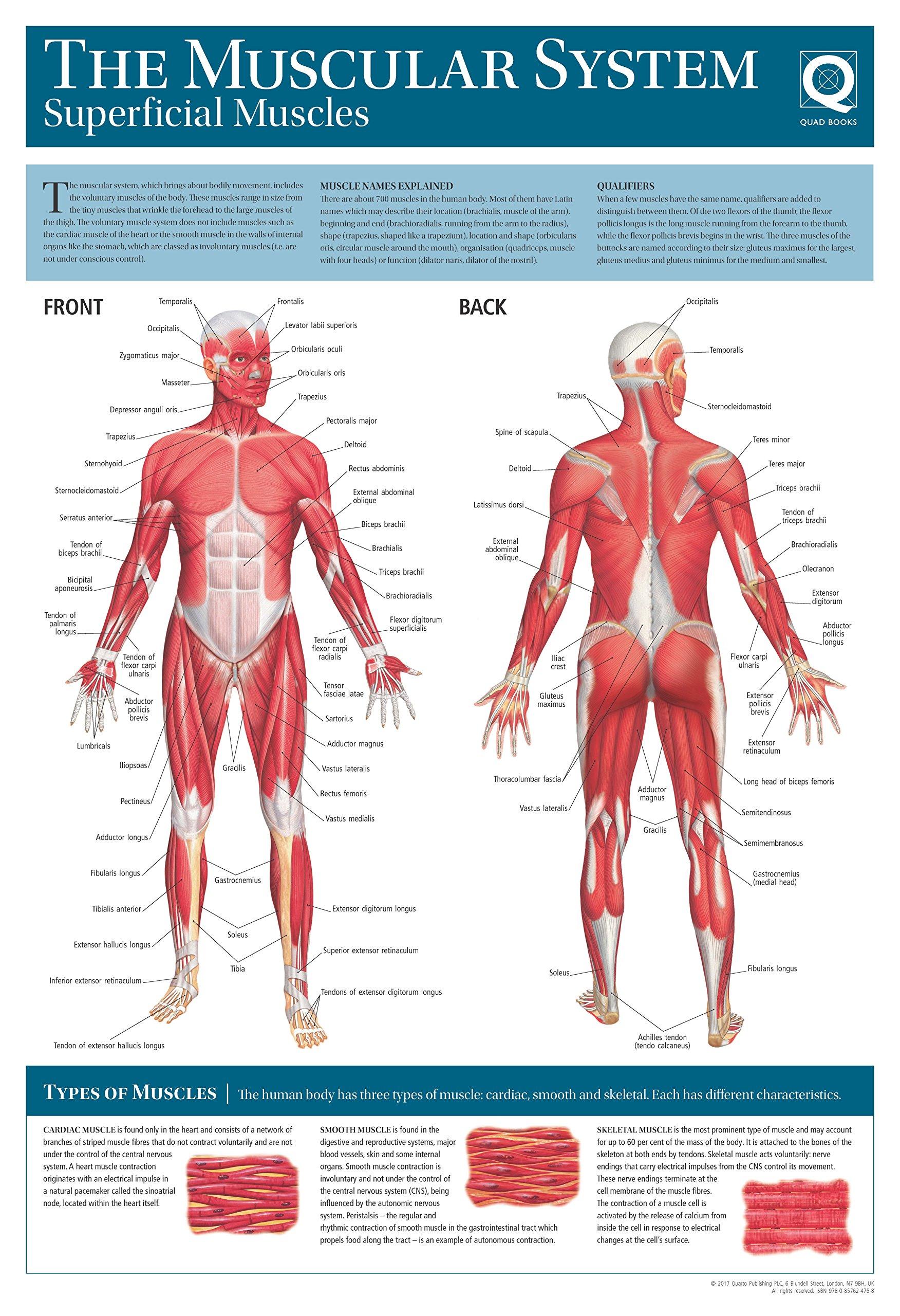 Human Anatomy Wallchart: The Muscular System: Amazon.es: Quad Books ...