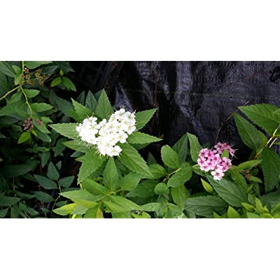 (1 Gallon) Shirobana Spirea- displays Three Different Colored Blooms All on The Same Shrub, at The Same time (White, Light Pink and Dark Pink) Blooms on The Same Plant, Small Compact Shrub : Garden & Outdoor