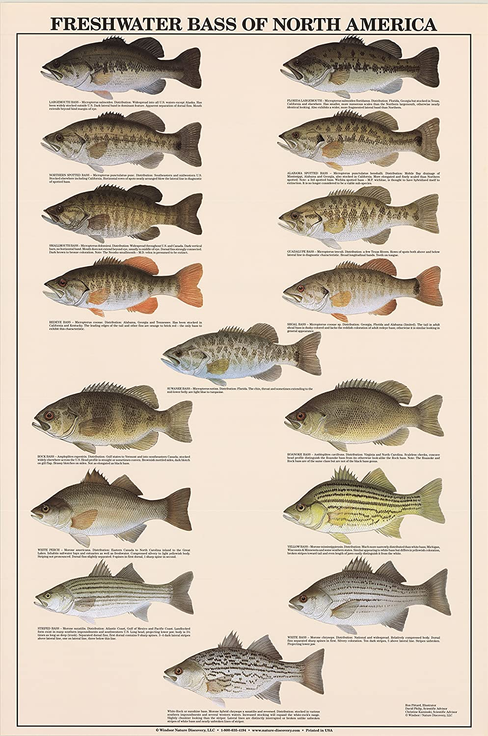 Amazon Com Freshwater Bass Fish Poster And Identification Chart Home Kitchen