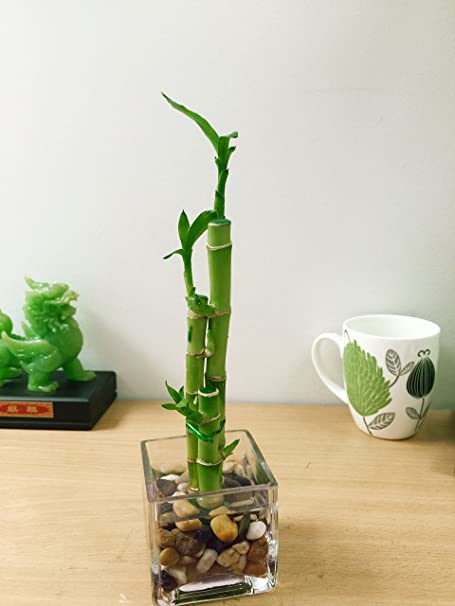 Easy Plants 1 Lucky Bamboo In Square Glass Vase With Pebbles 3