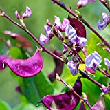 Outsidepride Purple Hyacinth Bean Red Leaved