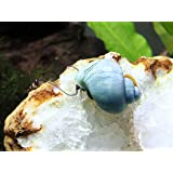 3 LARGE (1/2 to 2+inch) Blue Mystery Snails (Algae Eaters) - Live Snails by Aquatic Arts