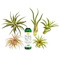 6 pc Air Plant Tillansia Starter Set by Bliss Gardens/Includes 5 Live Plants with 1 Bottle of Organic Fertilizer Food