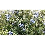 Sandys Nursery Online Plumbago Imperial Blue One Gallon