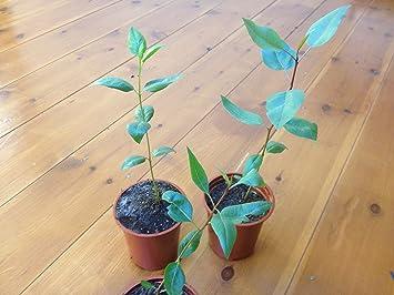 * 1 PLANT * Pistacia vera L. Pistachio tree
