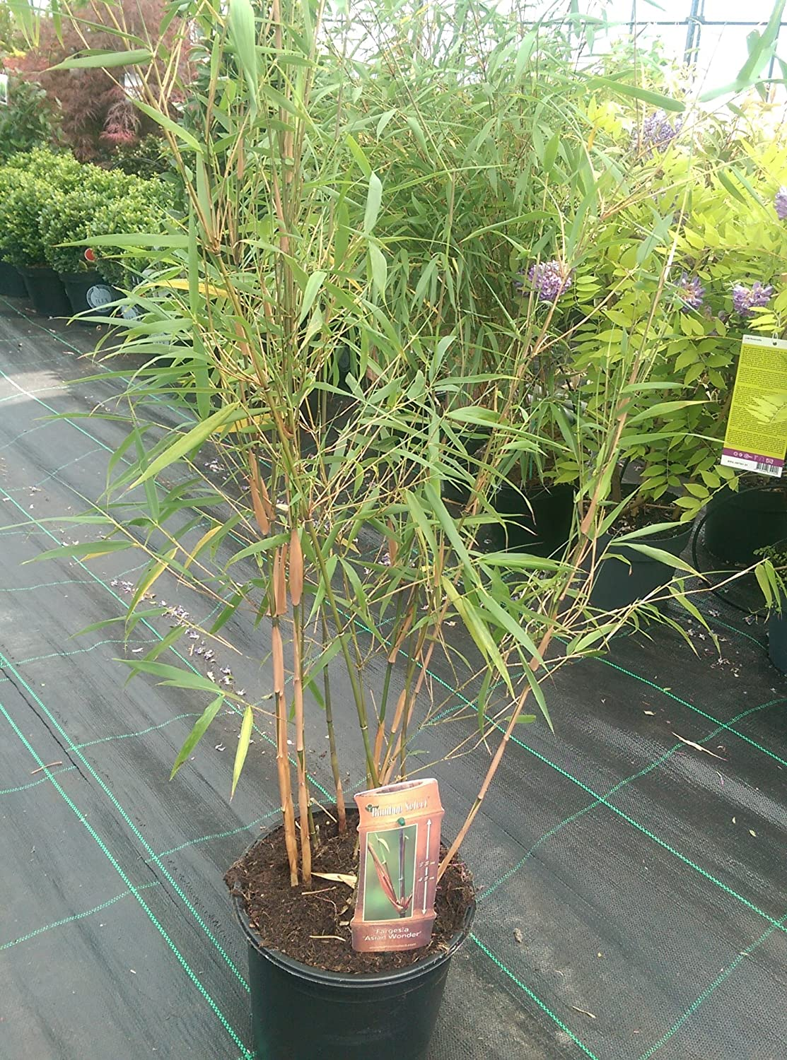 Bamboo Fargesia 'Scabrida' 5 Litre Fast Growing Non Invasive Bamboo Plants.